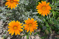 Summer Gazania Stock Image