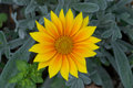 Summer Gazania Stock Images
