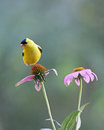 Summer Goldfinch Royalty Free Stock Photo