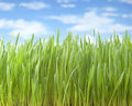Summer grass sky background fresh tall with a blue full of clouds Stock Photography