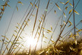 Summer grasses field of wild in a golden sunset sun Stock Photography