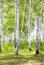 Summer green birch forest Royalty Free Stock Photography