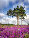 Summer heather and pine trees scots bell erica cinerea in bloom at arne in dorset Stock Photos