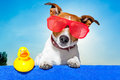 Summer holiday dog sunbathing on ab blue towel with a plastic duck and fancy sunglasses Stock Photos