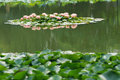 Summer lake the water lily are blooming in Stock Photo