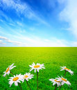 Summer landscape with chamomiles Stock Photo