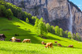 Summer landscape with cow grazing on fresh green mountain pastures. Lauterbrunnen, Switzerland, Europe. Royalty Free Stock Photo