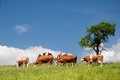 Summer landscape with cows Royalty Free Stock Photo