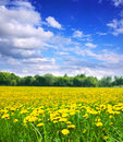 Summer landscape with dandelions meadow in sunny day Stock Image