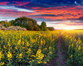Summer landscape with a field of yellow flowers sunrise Royalty Free Stock Photo