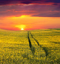 Summer landscape field yellow flowers sunset Stock Images
