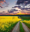 Summer landscape field yellow flowers sunset Royalty Free Stock Photos