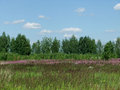 Summer landscape with fireweed flowers in the field and green trees against the blue sky with clouds Royalty Free Stock Photos