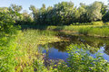 Summer landscape on  forest lake with water lilies and reeds . Royalty Free Stock Photo