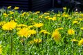 Many yellow blooming dandelions milk-witch gowan on the lawn near the house. Royalty Free Stock Photo