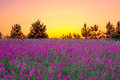 Summer  Landscape With Purple ...