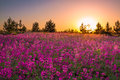 Summer  landscape with purple flowers on a meadow and  sunset Royalty Free Stock Photo