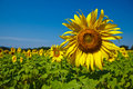 Summer landscape: sunflowers field Stock Images