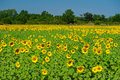 Summer landscape: sunflowers field on sunny day Royalty Free Stock Photography