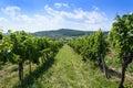 Summer landscape of Tokay vineyard Royalty Free Stock Photo