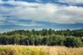 Summer Landscape with Young Pine Trees Royalty Free Stock Images