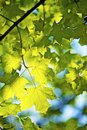Summer leaves closeup vertical photo green tree Royalty Free Stock Image