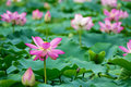 Summer lotus pond Royalty Free Stock Photo