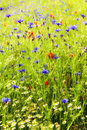 Summer meadow background with wild flowers like cornflowers, pop Royalty Free Stock Photo