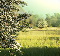 Summer meadow blossoming apple tree on Royalty Free Stock Photo