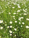 Summer meadow Green grass and white flowers chamomile Royalty Free Stock Photo