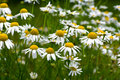 A summer meadow of marguerites Royalty Free Stock Photos