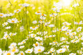 Summer meadow with ox eye daisies in back lite Stock Photos