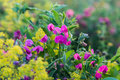 Summer meadow - wildflower  Lathyrus tuberosus Royalty Free Stock Photo