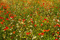 Summer medow with red poppy Stock Photo