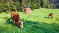 Summer morning country landscape with cows Stock Photo
