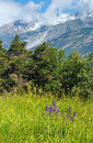 Summer mountain landscape with purple wild flowers in front alps switzerland Royalty Free Stock Photography