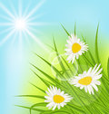 Summer nature background with daisy, grass, blue sky, sunny rays Royalty Free Stock Photo