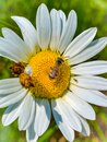 Summer in Omaha,  Daisy with a bee,white/yellow flower at Ed Zorinsky lake park, Omaha, Nebraska Royalty Free Stock Photo