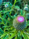 Summer in Omaha, Flowering buds of purple thistle flower  Ed Zorinsky Lake Park Omaha NE Royalty Free Stock Photo