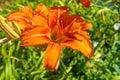 Summer Orange Daylily Flowers Royalty Free Stock Photo