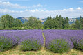 Summer Oregon Lavender Fields Stock Photo