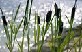 Summer picture coast cattails foreground sea nice bokeh background Royalty Free Stock Images