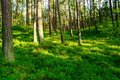 Summer pinewood with bilberry plants growing in forest understory. Scots or Scotch pine Pinus sylvestris trees on side of hill. Royalty Free Stock Photo