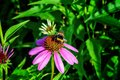 Summer pink medicinal flowers Echinacea, green leaves and herbs, and bumblebee. Royalty Free Stock Photo