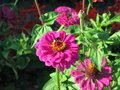 Pink zinnia and a bumblebee Royalty Free Stock Photo
