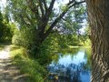 Branchy willow near the pond in summer day. Royalty Free Stock Photo