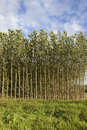 Summer poplar plantation Royalty Free Stock Photography