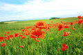 Summer poppies in the fields Royalty Free Stock Photo