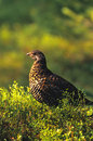 Summer Ptarmigan Stock Photos