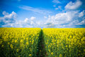 Summer Rape Seed Crops Stock Photography